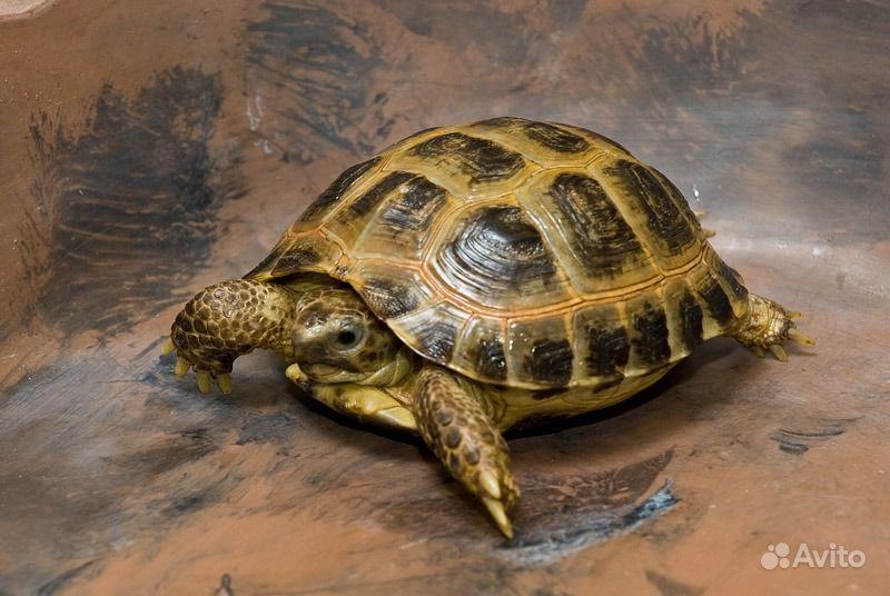 Сухопутная черепаха чем кормить - dd5d