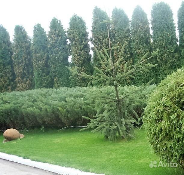 полынь древовидная божье дерево