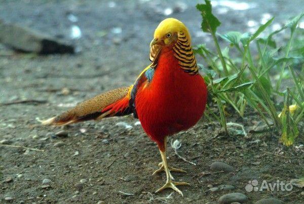 Фазан охотничий золотой фазан