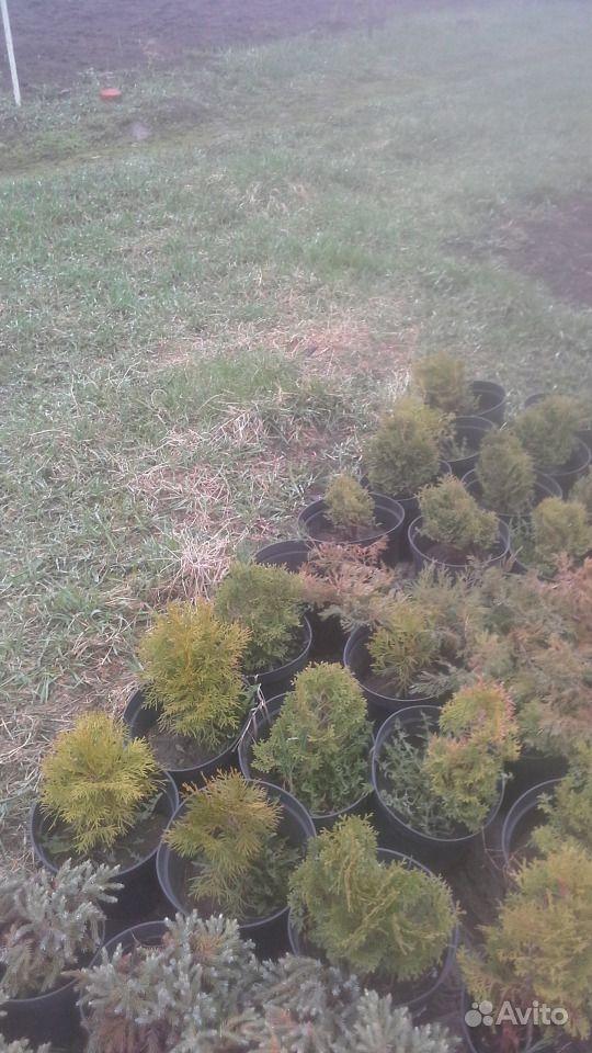 Декоративные хвойные растения купить на Зозу.ру - фотография № 3