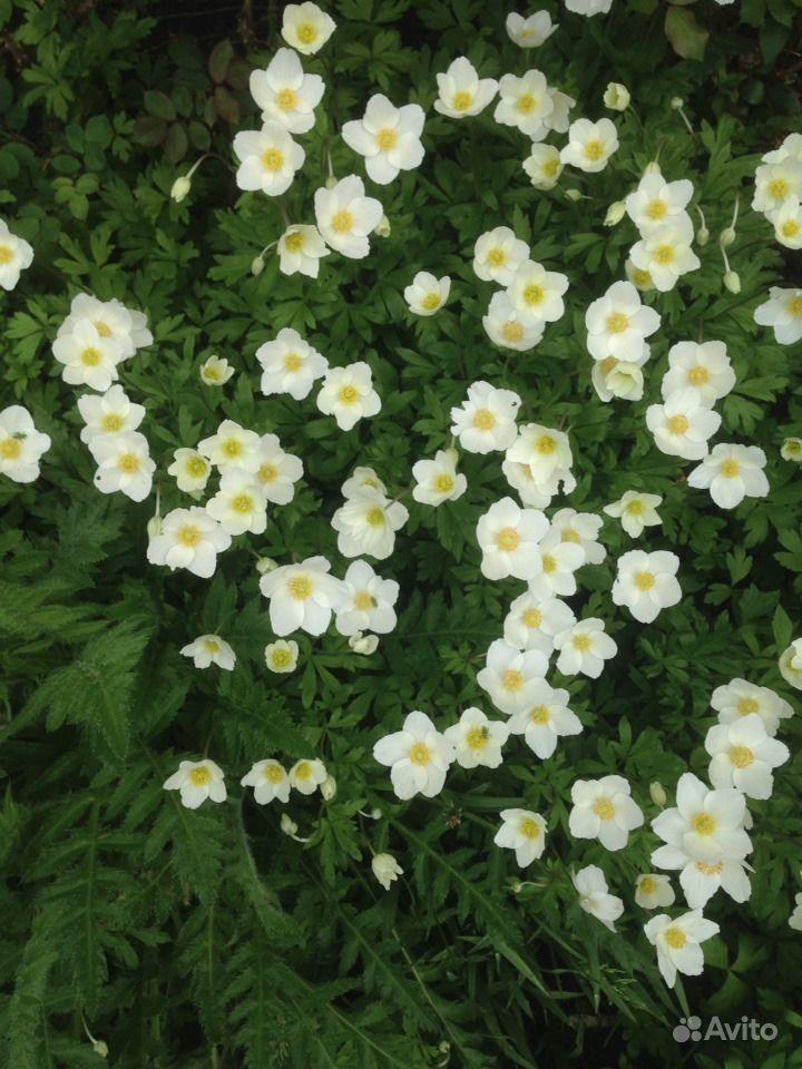 Садовые многолетники :лилейники,медуница 2 вида,ба купить на Зозу.ру - фотография № 4