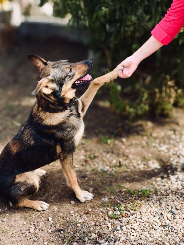 Молодая собака ищет своего человека в Ярославле - фотография № 2
