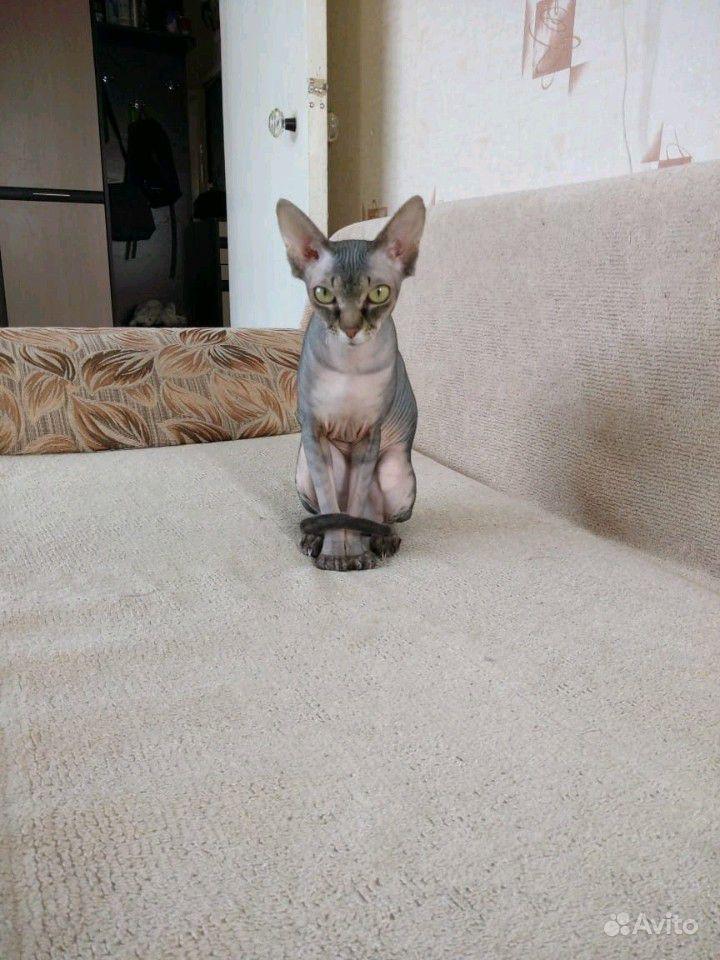 Кошечка канадский сфинкс ищет жениха в Лузино - фотография № 3