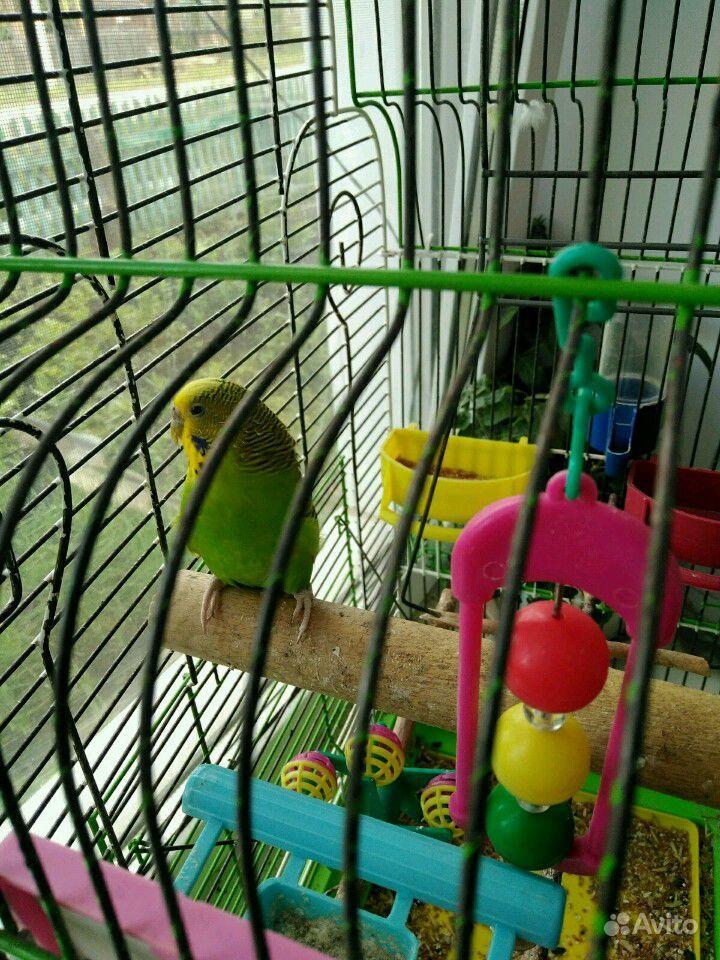 Продам волнистого попугая вместе с клеткой