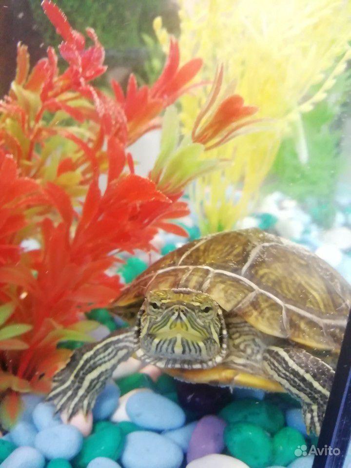Продаю красноухую черепаху + аквариум, фильтр