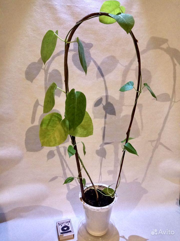 Комнатные растения - кактусы, смотрите и другие ра купить на Зозу.ру - фотография № 8