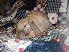 Заяц вислаухий дикаративный - мальчик