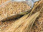 Продаётся пшеница