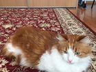 Кошка Сибирская кот