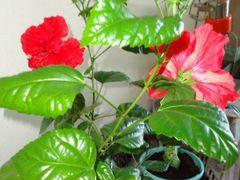 Гибискус махровый (Китайская роза)