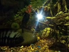 Рыбки Цыхлиды взрослые