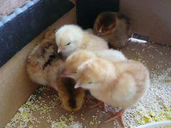 Продам суточных цыплят несушек