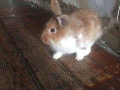 Продав крольчиху