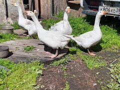 Продам 4х взрослых гусей