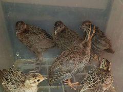 Охотничьи фазаны