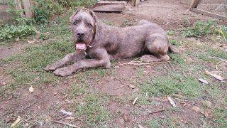 Подрощеный щенок корсо-спиноне объявление продам