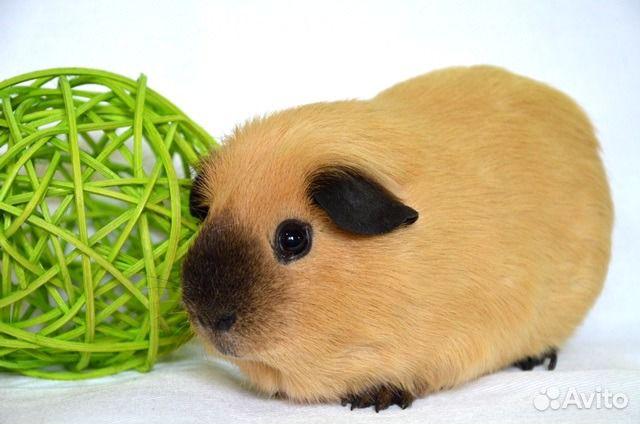 открыть породистые морские свинки купить автокресел для детской