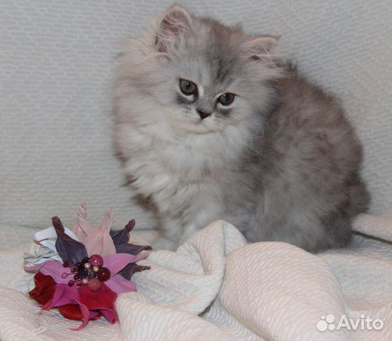 персидские котята на авито.ру