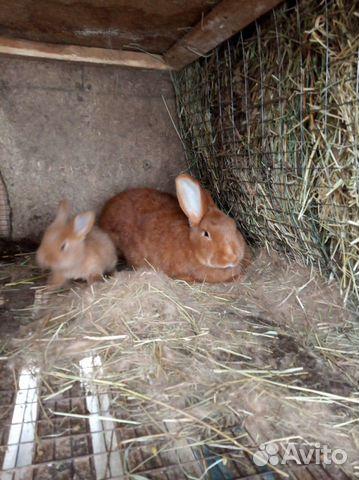 Племенные кролики 89065705365 купить 3
