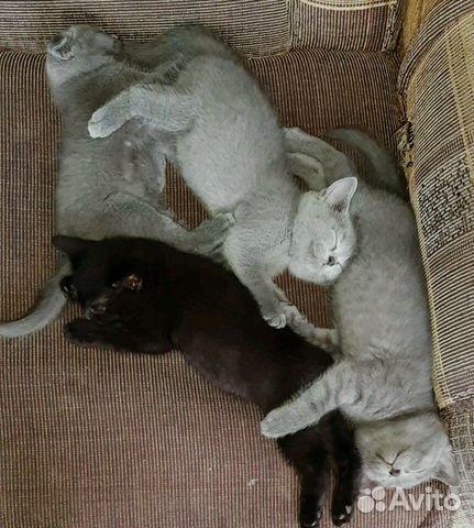 Шодланские котята
