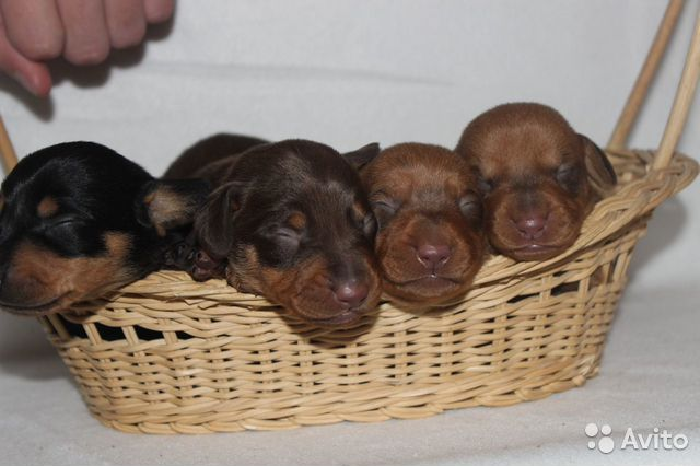 Puppies fees