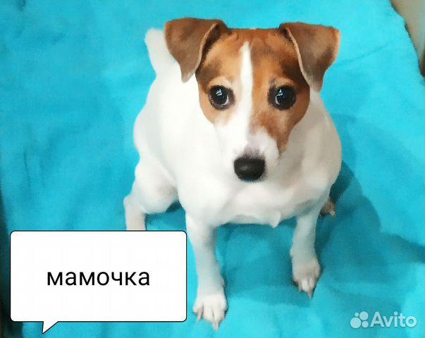 Продается девочка Джек Рассел терьера купить на Зозу.ру - фотография № 4
