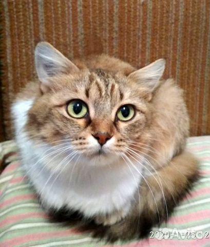 89137249811 Кошка-сибирячка Маня