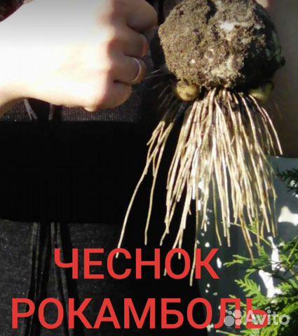 Чеснок рокамболь слоновий чеснок и картофель семян  89304200228 купить 2