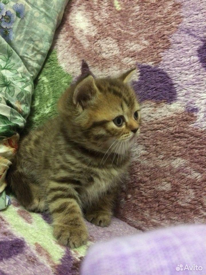 Scottish kittens  89081189556 buy 4
