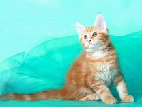 Мейн-куны котята и подростки