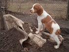 Собаки эпаньол
