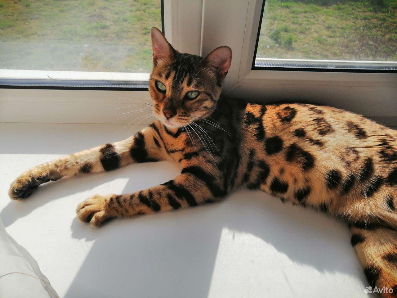 Бенгальские котята  89610262725 купить 2