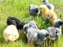 Гуси, Утка, мулард, цыплята в ассортименте