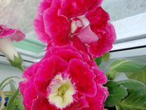 Глоксиния — Растения в Саратове