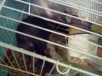 Крысы взрослые и новорожденные
