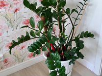 Комнатные растения Драцена, китайская роза и Замио