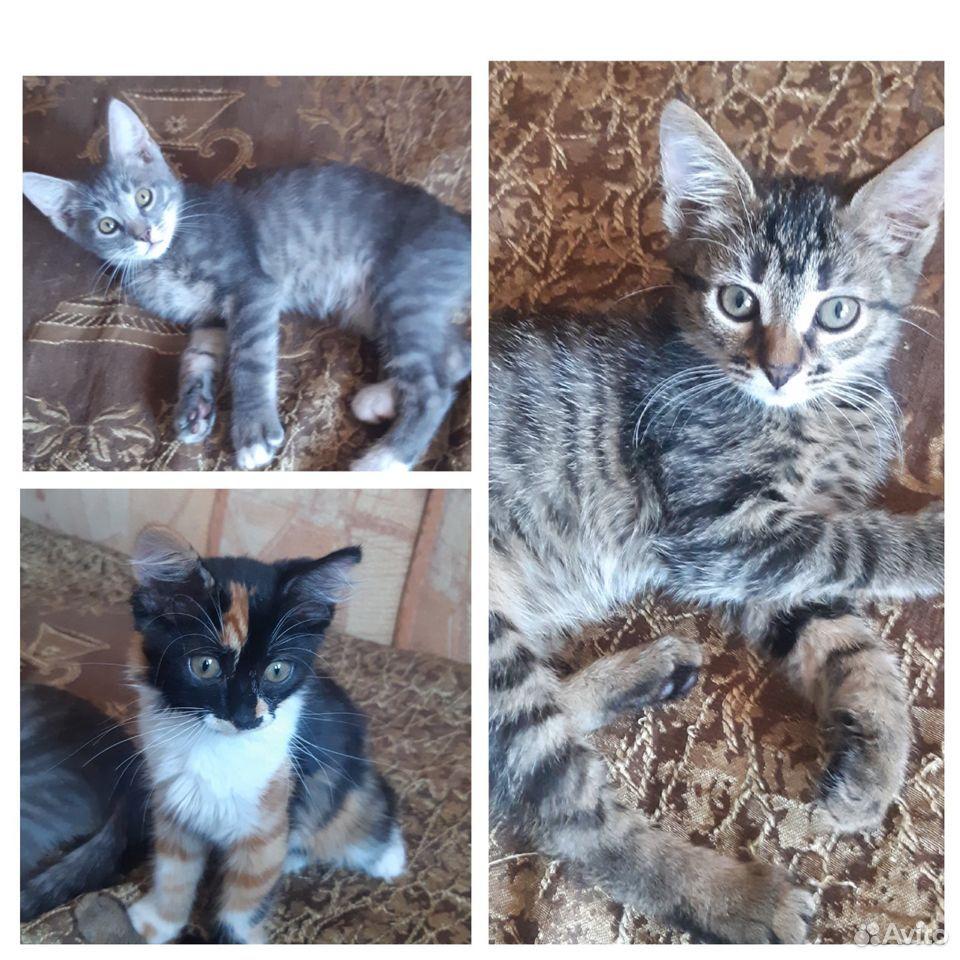 Котята две сестры и братик  89107128313 купить 1