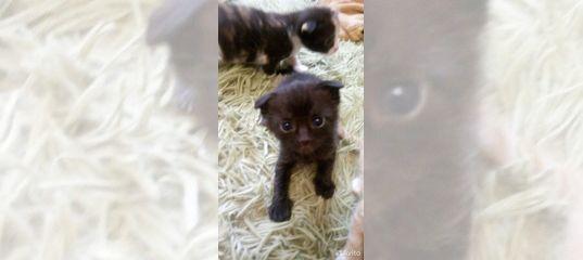 Вислоухие котята купить в Ростовской области   Животные и зоотовары   Авито