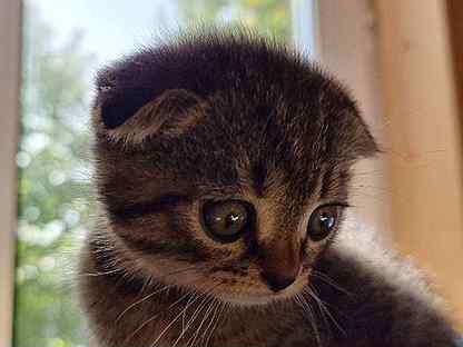 Шотландская вислоухая кошка бесплатно