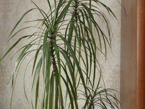 Пальма Драцена. 170 см