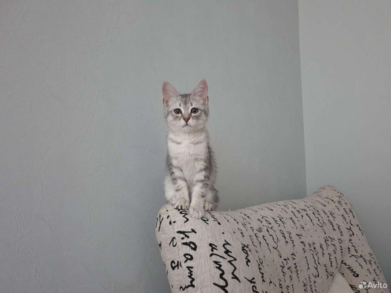 Котенок британец  89538338533 купить 2