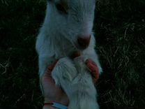 Козочка от прекрасной молочной козы