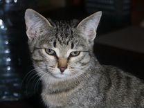 Подарю котят от сибирской кошки