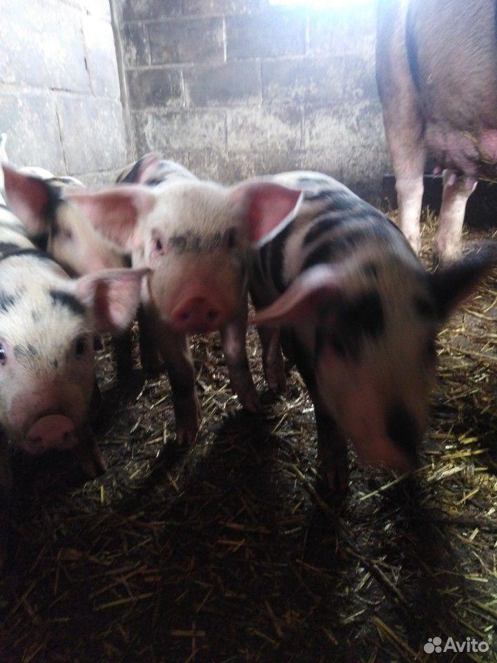 Sell pigs  89207000633 buy 2