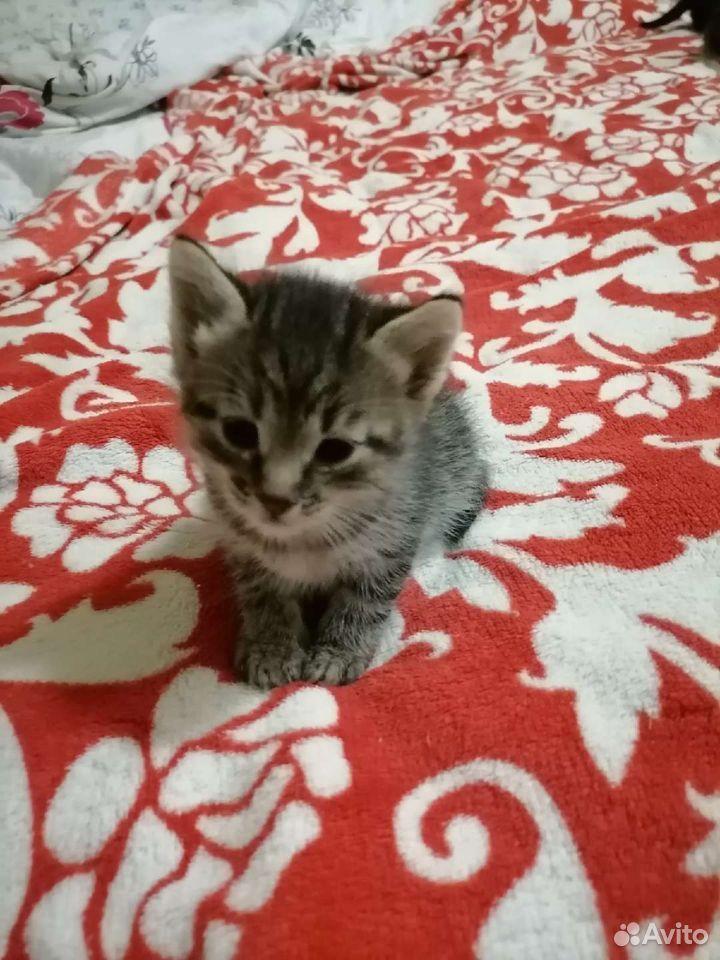 Кошка  89517623207 купить 2