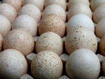 Инкуб.яйцо индейки